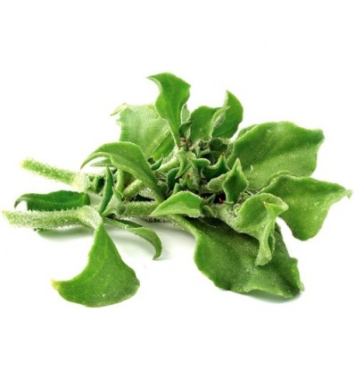 新奇特!水晶冰菜 / 冰草 Ice Plant 约110-120g