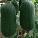 有机种植小冬瓜 / 大节瓜 check kwa 5.5-6Kg/个