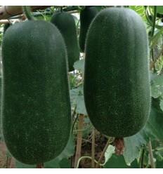 有机种植小冬瓜 check kwa 5.5-6Kg/个